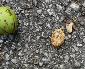 IMG_3157a hickory nut
