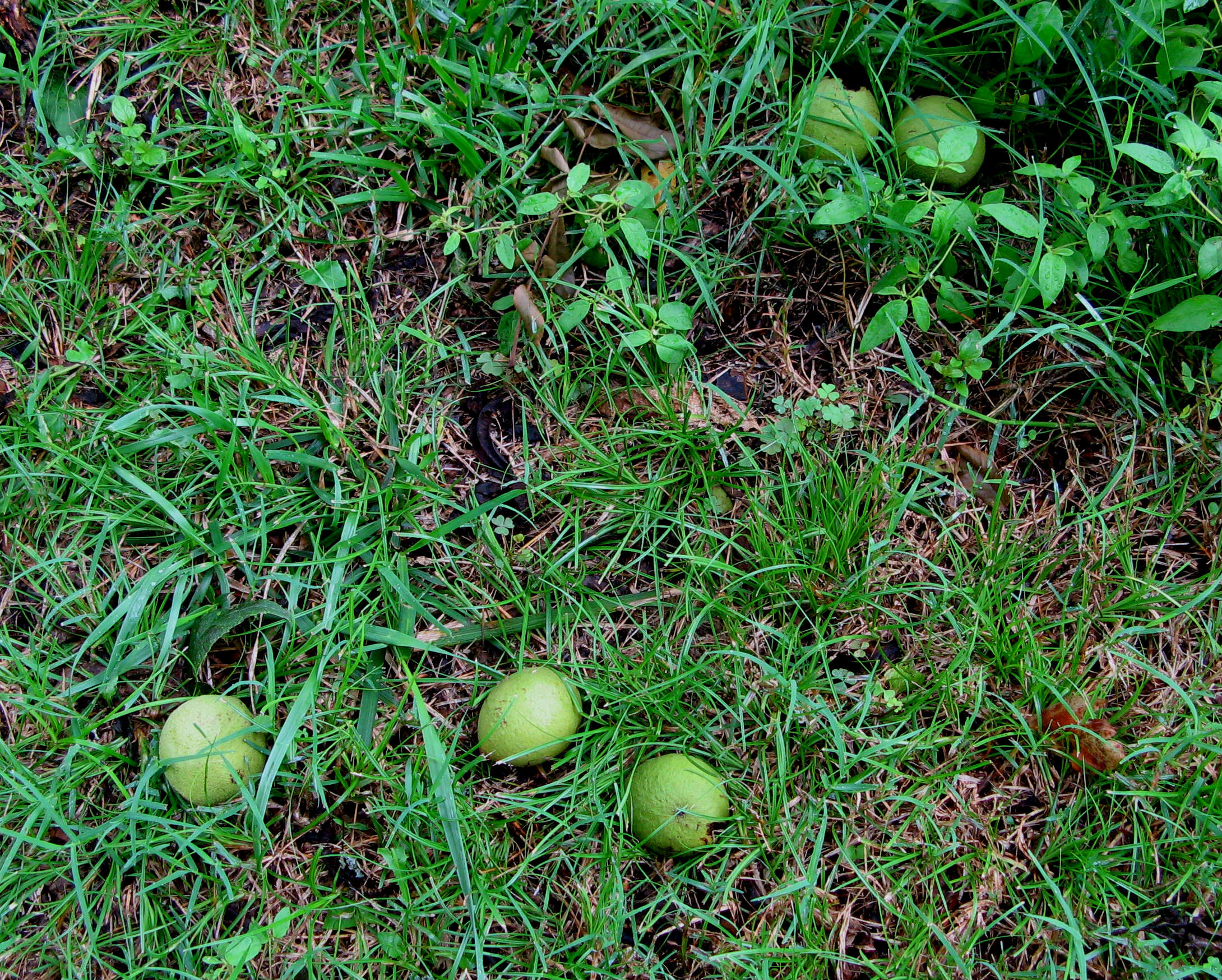Hickory Nuts in Grass
