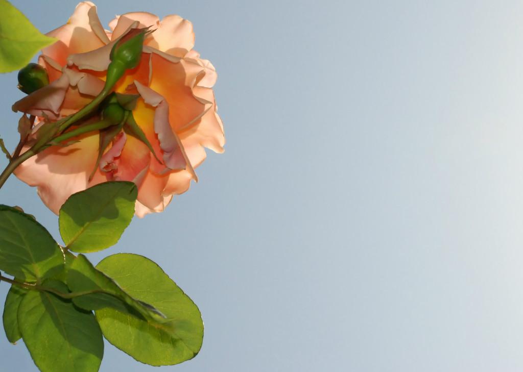 Beneath a Rose