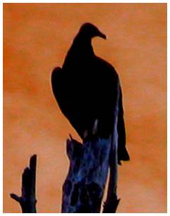 Buzzard silhouetted against orange sky