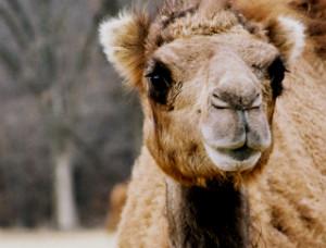 Camel face
