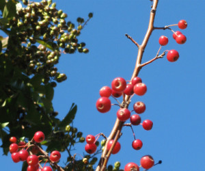 Red mystery berries