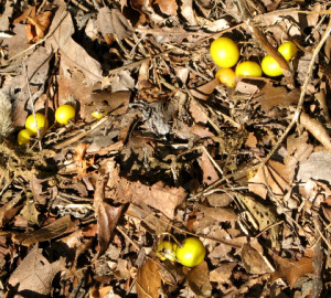 Yellow mystery berries