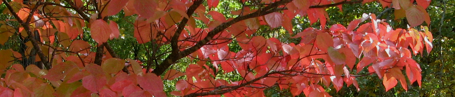 Dogwood boughs in autumn