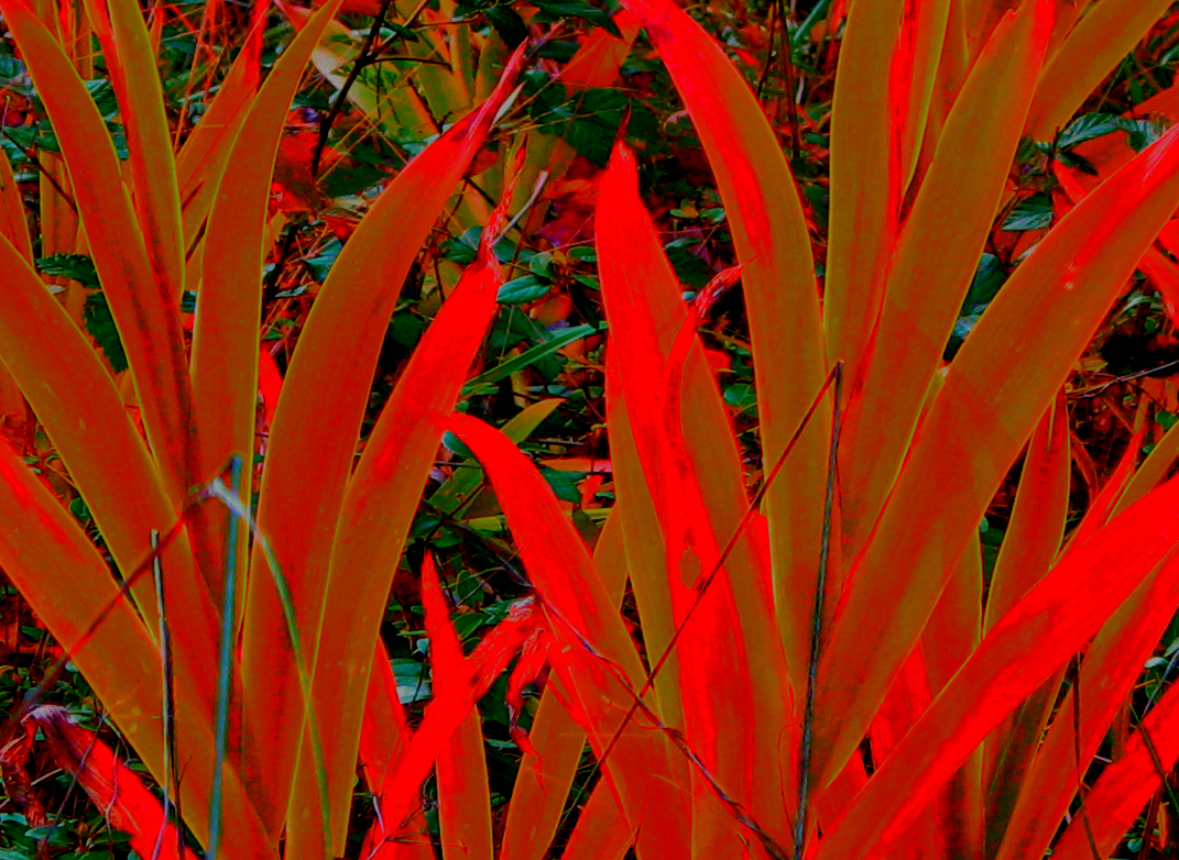 Iris leaves recolored red