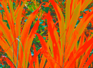 Iris leaves recolored orange