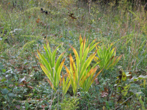 Yellow tinged iris leaves