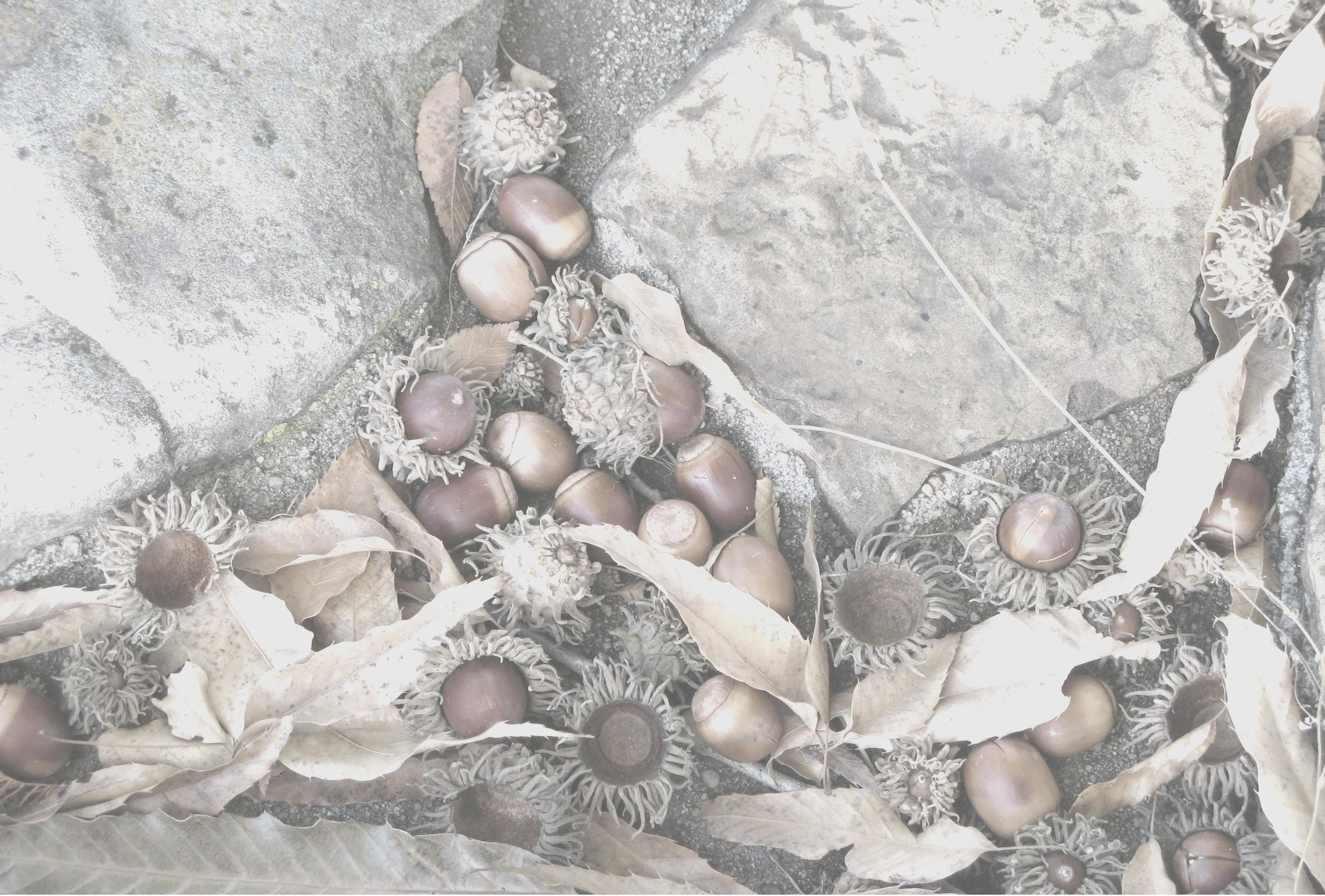 Shaggy-capped acorns