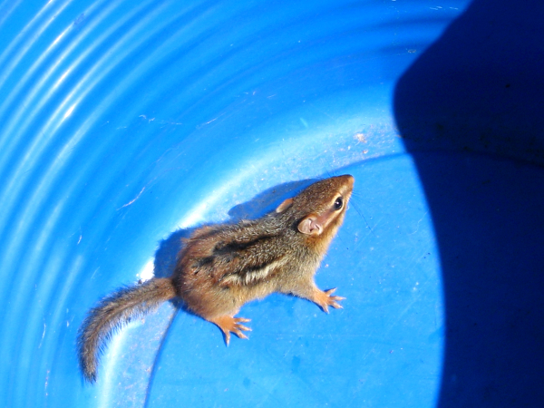 Chipmunk in blue bin