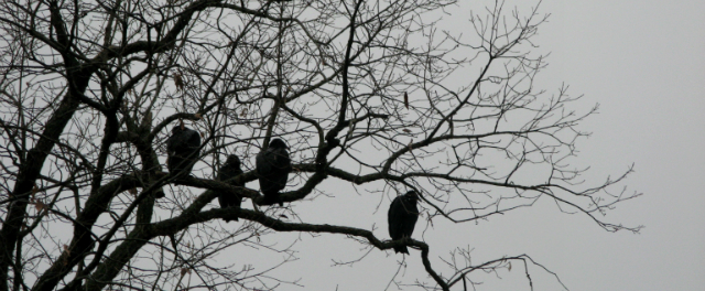Four perched buzzards