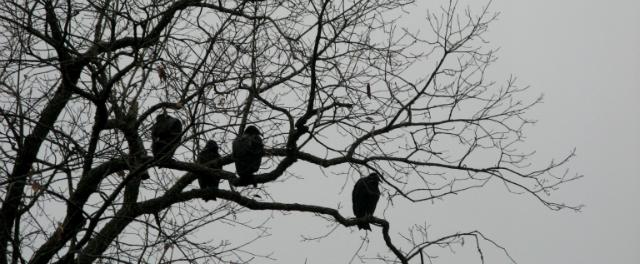 Four perched buzzards