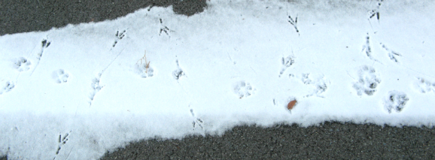 Combined crow and dog snowprints