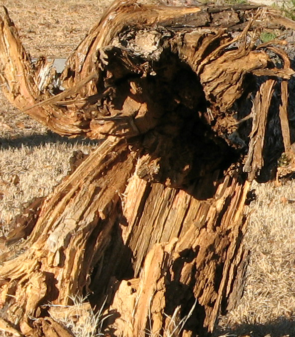 Cedar root or shamanic dancer