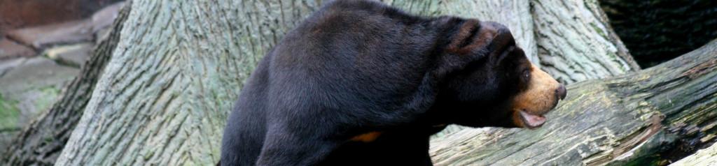 Black bear against gray background