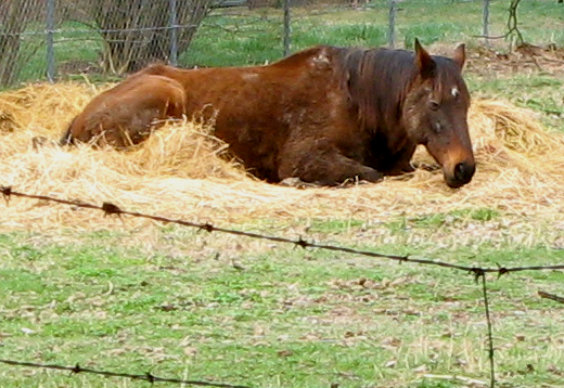 Horse lying in straw outdoors