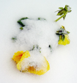 Yellow flower covered in snow