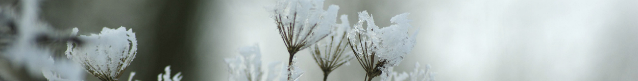Snow-capped winter weeds