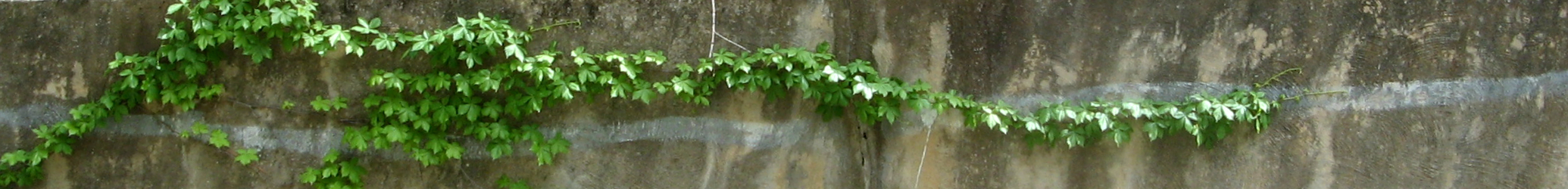 Vine against retaining wall