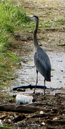 Heron standing near edge of road