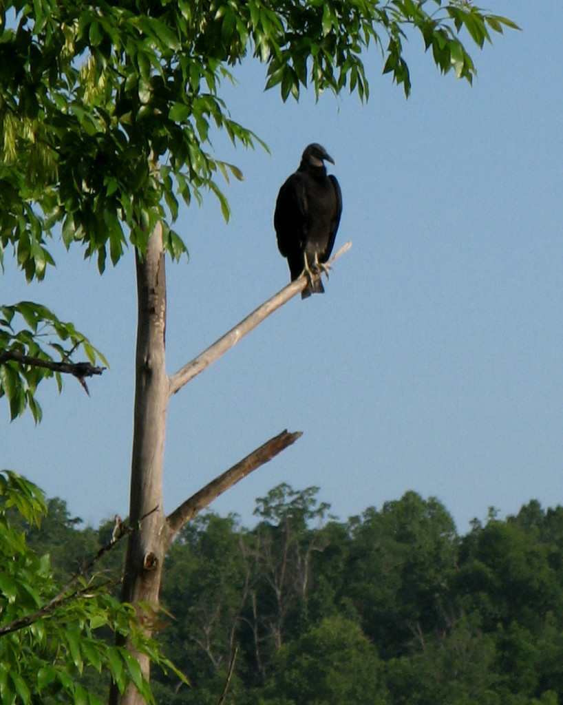 Buzzard on a snag