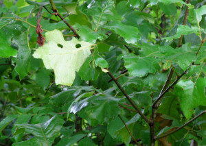 Texas-shaped leaf