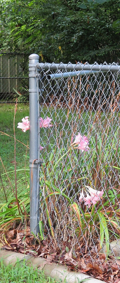 Surprise lilies at chain-link fence